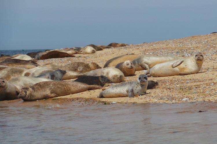 Things to do Norfolk Coast - seals at Blakeney